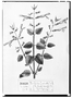 Field Museum photo negatives collection; Genève specimen of Salvia grandiflora, MEXICO, M. Sess?, Type [status unknown], G