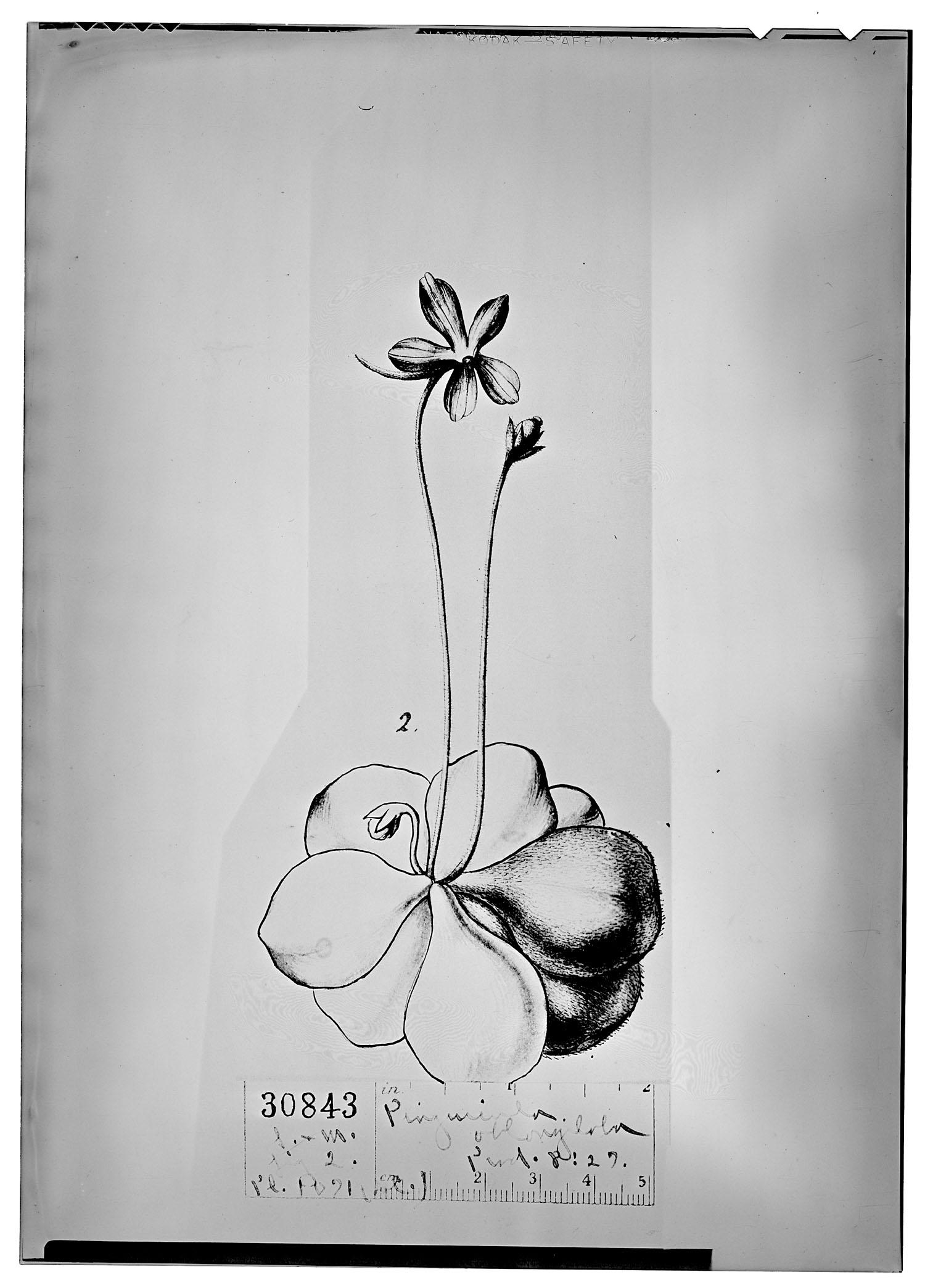 Pinguicula oblongiloba image