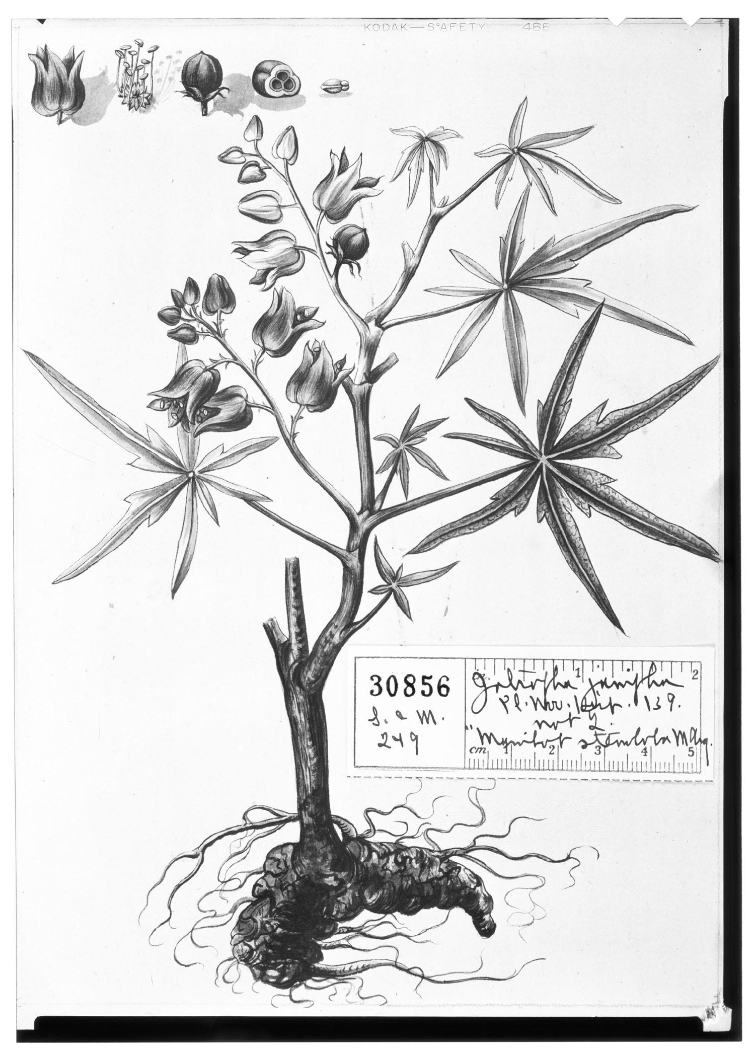 Jatropha multifida image