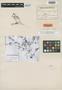 Astragalus viciiformis image