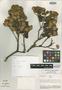 Gynoxys colanensis M. O. Dillon & Sagást., PERU, P. J. Barbour 3409, Holotype, F
