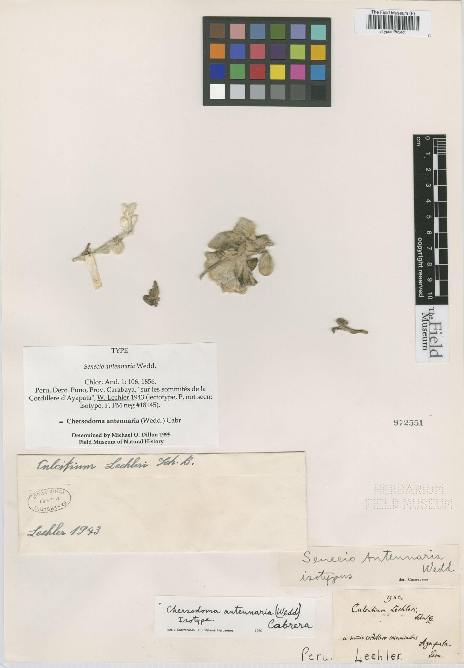 Senecio antennaria image
