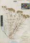 Acanthophyllum stenostegium Freyn, Turkmenistan, P. E. E. Sintenis 300, Possible type, F