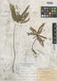 Biophytum peruvianum R. Knuth, BOLIVIA, M. Bang 1397, Isotype, F
