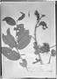 Field Museum photo negatives collection; Genève specimen of Combretum aurantiacum Benth., BRITISH GUIANA [Guyana], R. H. Schomburgk 87, Isotype, G