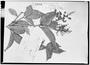 Field Museum photo negatives collection; Genève specimen of Myrcia detergens Miq., BRAZIL, J. S. Blanchet 3558, Isotype, G