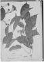Field Museum photo negatives collection; Genève specimen of Calycolpus schomburgkianus var. recurvatus O. Berg, GUYANA, R. H. Schomburgk 302, Isosyntype, G