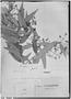 Field Museum photo negatives collection; Genève specimen of Myrcia acutata O. Berg, BRAZIL, G. Gardner 2606, Isotype, G