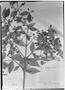 Field Museum photo negatives collection; Genève specimen of Myrcia acutiloba O. Berg, BRAZIL, G. Gardner 1624, Isotype, G