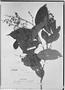 Field Museum photo negatives collection; Genève specimen of Myrcia latifolia O. Berg, PERU, E. F. Poeppig 2872, Isotype, G
