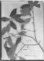 Field Museum photo negatives collection; Genève specimen of Myrcia gemmiflora O. Berg, BRAZIL, G. Gardner 4676, Isotype, G