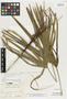 Rhapis grossefibrosa Gagnep., Vietnam, E. Poilane 16383, Isotype, F
