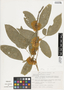 Zygia latifolia (L.) Fawc. & Rendle, Mexico, J. Dorantes 2459, F