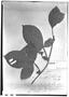 Field Museum photo negatives collection; Genève specimen of Paullinia densiflora Sm., COLOMBIA, J. J. Triana, Type [status unknown], G
