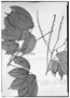 Field Museum photo negatives collection; Genève specimen of Paullinia firma Radlk., BRAZIL, R. Spruce 2444, Type [status unknown], G