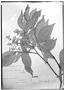 Field Museum photo negatives collection; Genève specimen of Paullinia laeta Radlk., PERU, A. Mathews, Type [status unknown], G