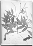 Field Museum photo negatives collection; Genève specimen of Paullinia marginata Casar., BRAZIL, G. Casaretto 1064, Type [status unknown], G