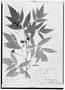 Field Museum photo negatives collection; Genève specimen of Paullinia meliaefolia A. Juss., BRAZIL, P. Commerson, Type [status unknown], G