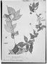 Field Museum photo negatives collection; Genève specimen of Paullinia selenoptera Radlk., BRAZIL, E. H. G. Ule 5818, Type [status unknown], G