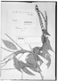 Field Museum photo negatives collection; Genève specimen of Paullinia venosa Radlk., BRAZIL, Newman, Type [status unknown], G
