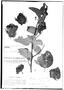 Gossypium klotzschianum image