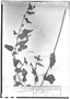 Field Museum photo negatives collection; Genève specimen of Sida gracillima Hassl., PARAGUAY, É. Hassler 5173, Type [status unknown], G