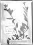 Field Museum photo negatives collection; Genève specimen of Sida hassleri Hochr., PARAGUAY, É. Hassler 5738, Type [status unknown], G