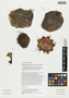 Armatocereus procerus Rauh & Backeb., Peru, T. Anderson 8013, F