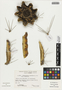 Armatocereus procerus Rauh & Backeb., Peru, P. C. Hutchison 1224, F