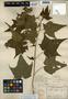 Sida hermaphrodita (L.) Rusby, U.S.A., A. Gattinger s.n., F