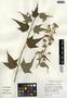 Sida hermaphrodita (L.) Rusby, U.S.A., A. W. Cusick 23766, F