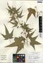 Sida hermaphrodita (L.) Rusby, U.S.A., A. W. Cusick 21319, F