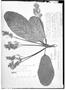 Field Museum photo negatives collection; Genève specimen of Sterculia frondosa Rich., FRENCH GUIANA, J. B. Leblond 246, G