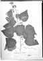 Field Museum photo negatives collection; Genève specimen of Cybiostigma abutilifolium Turcz., MEXICO, J. J. Linden 848, Type [status unknown], G