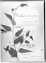 Field Museum photo negatives collection; Genève specimen of Byttneria corchorifolia Turcz., ECUADOR, W. Jameson 600, Type [status unknown], G