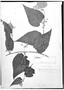 Field Museum photo negatives collection; Genève specimen of Byttneria hirsuta Ruíz & Pav., ECUADOR, H. Ruíz L., Type [status unknown], G