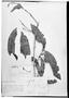 Field Museum photo negatives collection; Genève specimen of Quiina rhytidopus Tul., GUYANA, R. H. Schomburgk 928, Type [status unknown], G
