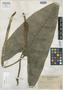 Alocasia wenzelii Merr., PHILIPPINES, C. A. Wenzel 97, Isotype, F