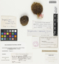 Coryphantha vivipara var. bisbeeana (Orcutt) L. D. Benson, U.S.A., C. G. Pringle s.n., F