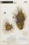 Ferocactus hamatacanthus image