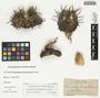 Echinocactus horizonthalonius Lem., Mexico, E. Palmer 151, F