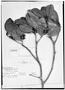 Field Museum photo negatives collection; Genève specimen of Ternstroemia crassifolia Benth., BRITISH GUIANA [Guyana], R. H. Schomburgk 602, Isotype, G