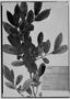Field Museum photo negatives collection; Genève specimen of Freziera integrifolia Benth., MEXICO, K. T. Hartweg, Isotype, G