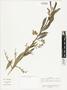 Baccharis trinervis var. rhexioides (Kunth) Baker, Colombia, J. Cuatrecasas 25425, F