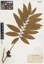 Xylopia aromatica (Lam.) C. Mart., PANAMA, J. F. Macbride 2670, F