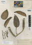 Rhaphidophora lagunensis Elmer, PHILIPPINES, A. D. E. Elmer 17812, Isotype, F
