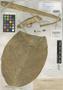 Rhaphidophora monticola K. Krause, PHILIPPINES, A. D. E. Elmer 10098, Isotype, F