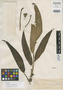 Rhaphidophora stenophyla Elmer, PHILIPPINES, A. D. E. Elmer 18449, Isotype, F