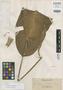 Rhaphidophora todayensis K. Krause, PHILIPPINES, A. D. E. Elmer 10849, Isotype, F