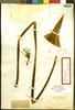 Agave bahamana Trel., Bahamas, N. L. Britton 2340, Isotype, F